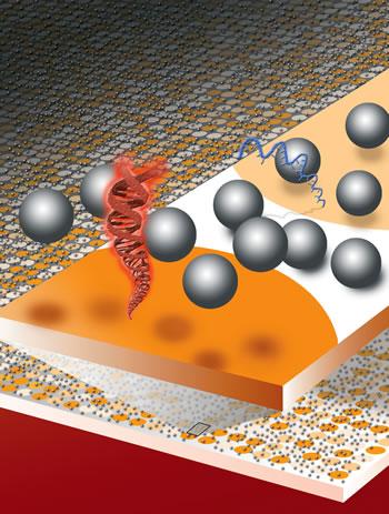 DNA Hybridization on Surfaces